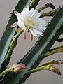 Cereus hildmannianus subsp. uruguayanus - Peruvian Torch Flowers.jpg