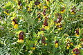 Cerinthe major Zingaro 003.jpg