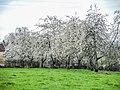 Cerisiers en fleurs. Fougerolles.jpg