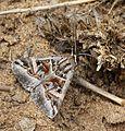 Cerocala vermiculosa 606478-1.jpg