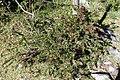 Cestrum buxifolium (Solanaceae) (45872712462).jpg