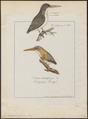 Ceyx tridactyla - 1788-1823 - Print - Iconographia Zoologica - Special Collections University of Amsterdam - UBA01 IZ16800089.tif