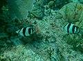 Chaetodon striatus - banded butterflyfish - Bay of Pigs - Cuba.jpg