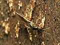 Chalcid Wasp (34307503071).jpg