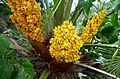 Chamaerops humilis - ARECACEAE - Flickr - gailhampshire.jpg
