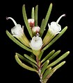 Chamelaucium sp. Cataby - Flickr - Kevin Thiele.jpg
