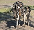 Chapman-Zebras.jpg