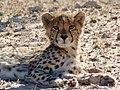 Cheetah (Acinonyx jubatus) juvenile ... (51005757462).jpg