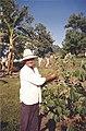 Cherimoya fruit grower in Brazil.jpg