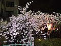 """Cherry-Blossom-Viewing through the """"Tunnel"""" at Japan Mint in 201504 052.JPG"""