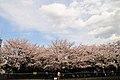 Cherry blossom near Zenpukuji river, Tokyo; March 2008 (28).jpg