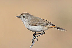 Chestnut-rumped Thornbill1.jpg