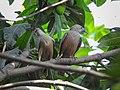 Chestnut-tailed starling 13.jpg