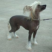 Toy dog - Wikipedia