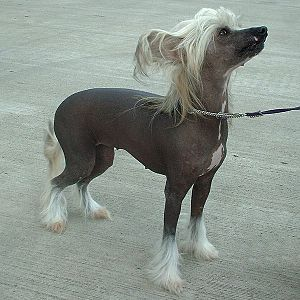 Toy dog - The Chinese crested dog is a hairless toy breed.
