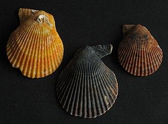 Chlamys varia - Image: Chlamys varia Kammmuschel