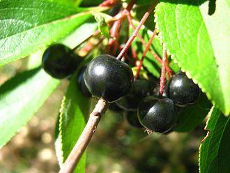 Aronia - Aronia berries