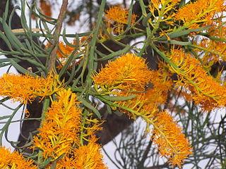 <i>Nuytsia</i> genus of plants