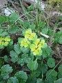 Chrysosplenium alternifolium RHu.JPG