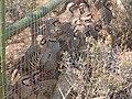Chukar Trapping06 Lotta Chuks (37190248445).jpg