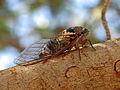 Cicada Turkey.jpg