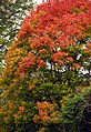 "Cincinnati - Spring Grove Cemetery & Arboretum ""Autumn On Maple Tree"" (8215099645).jpg"