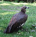 Cinereous.vulture1.jpg