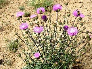 <i>Cirsium perplexans</i> species of plant