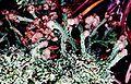Cladonia peziziformis-9.jpg