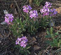 Clausia aprica
