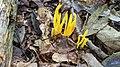 Clavulinopsis fusiformis 97833753.jpg