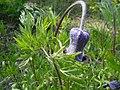 Clematis hirsutissima two-4-25-04.jpg
