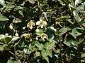 Clematis orientalis subsp. wightiana (2195561718).jpg