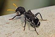 external image 180px-Clerid_beetle03.jpg