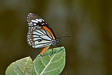 Close wing position basking of Danaus melanippus Cramer, 1777 – White Tiger(Male) WLB DSC 2700.jpg