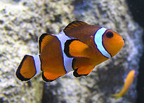 Percula Clownfish in a zoo