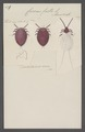 Coccus - Print - Iconographia Zoologica - Special Collections University of Amsterdam - UBAINV0274 042 09 0006.tif