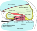 Cochlea-crosssection-de.png