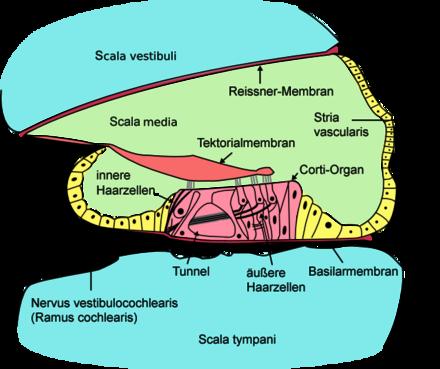 lage innere organe
