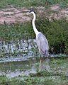 Cocoi Heron (Ardea cocoi) - Flickr - Lip Kee.jpg