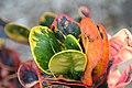 Codiaeum variegatum Bahli Hi 1zz.jpg