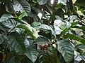 Coffea liberica (5597934575).jpg