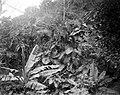 Collectie Nationaal Museum van Wereldculturen TM-10021328 Begroeing van planten van de Aronskelkachtigen en bloeiende planten in een bergkloof Saba -Nederlandse Antillen fotograaf niet bekend.jpg
