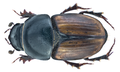 Colobopterus erraticus (Linné, 1758) Male Syn.- Aphodius (Colobopterus) erraticus (Linné, 1758) (19576912521).png