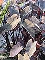 Colocasia esculenta 1zz.jpg