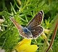 Common Blue female. Polyommatus icarus (32724299008).jpg