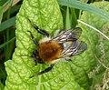 Common Carder Bee. Bombus pascuorum. Queen (33880437561).jpg