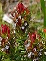 Common Pagoda Bush (Mimetes cucullatus) (32141898743).jpg