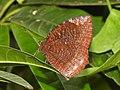 Common Palmfly Elymnias hypermnestra by Dr Raju Kasambe DSCN4297 (4).jpg