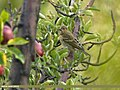 Common Rosefinch (Carpodacus erythrinus) (22459778225).jpg